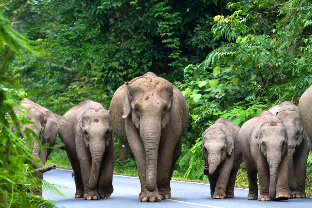 В Таиланде дикие слоны остановили и ограбили грузовик с фруктами