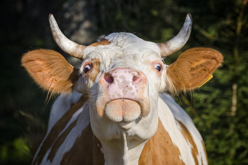 Чисто английское убийство: в Британии произошел ужасный инцидент с коровами