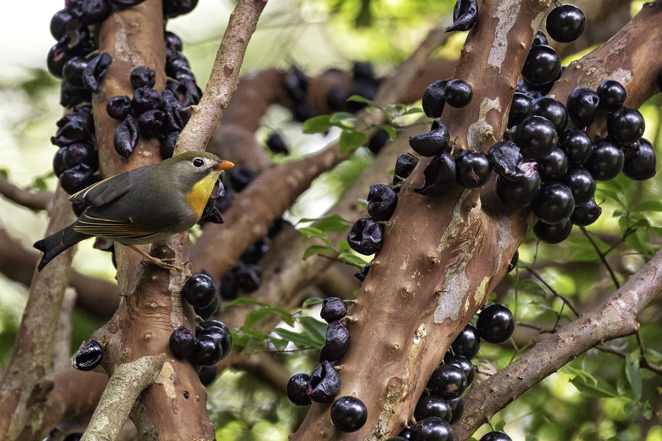 Джаботикаба – удивительное виноградное дерево