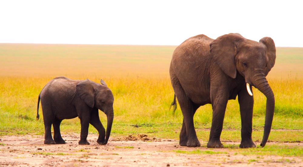 Слоны «сеют» в саванне фрукты и ягоды