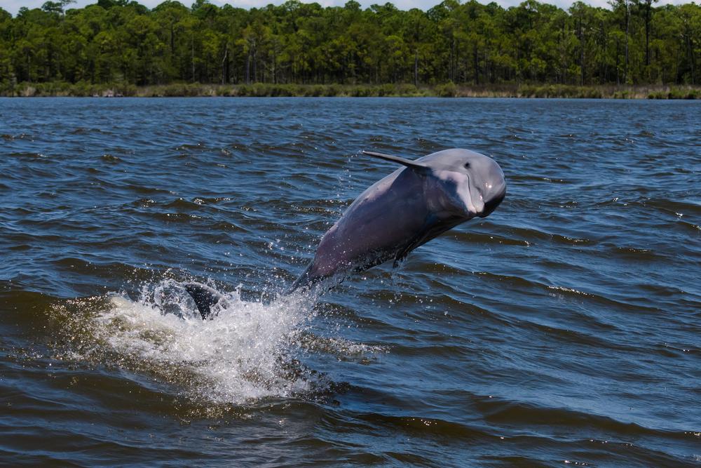 В Днепр и Дунай на юге Украины массово заплывают дельфины.Вокруг Света. Украина