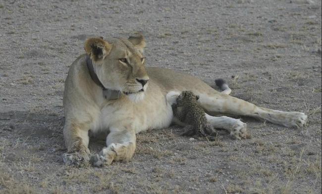 Львица в Танзании усыновила детеныша леопарда: уникальные фото