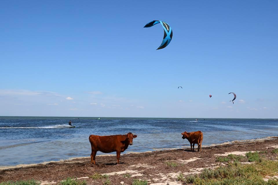 Коровы в море и пеликаны на берегу: 7 удивительных фактов о Ягорлыцком заливе