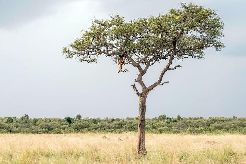 Найди леопарда на дереве: хищник, который прячется лучше хамелеона