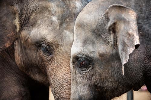 Через 20 лет африканские слоны исчезнут с лица Земли