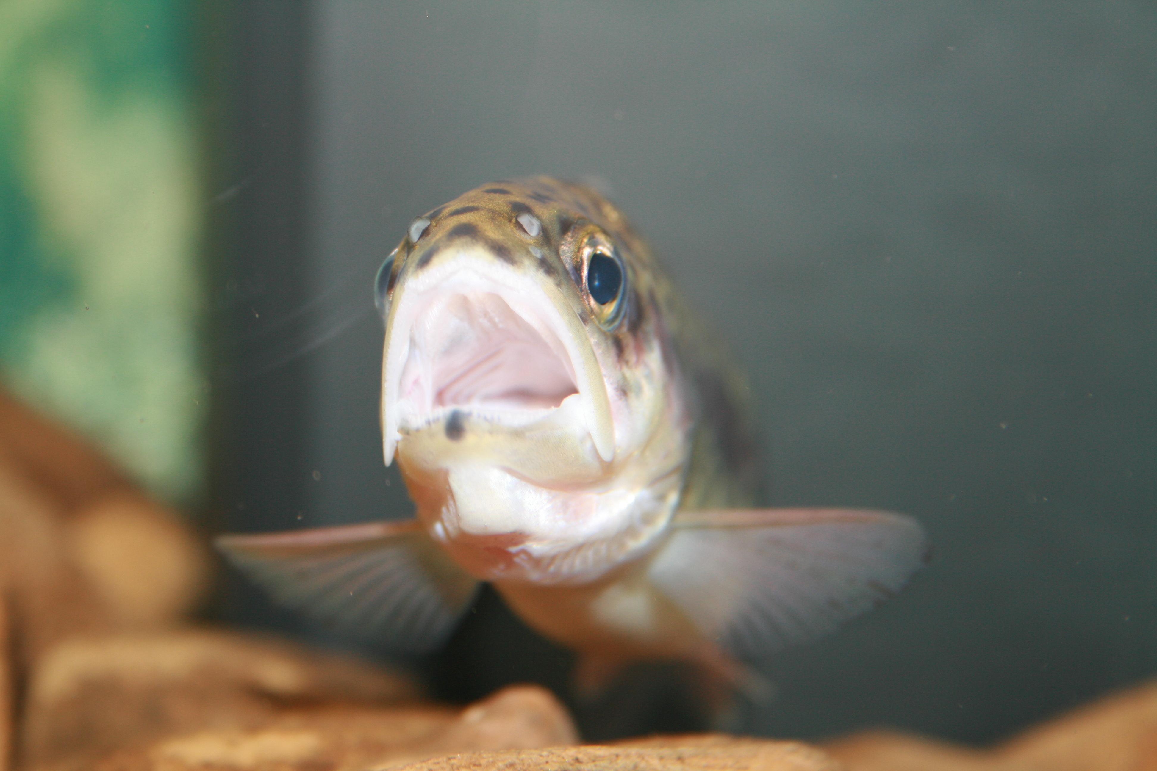 Рыбы-самцы превращаются в самок из-за загрязнения воды
