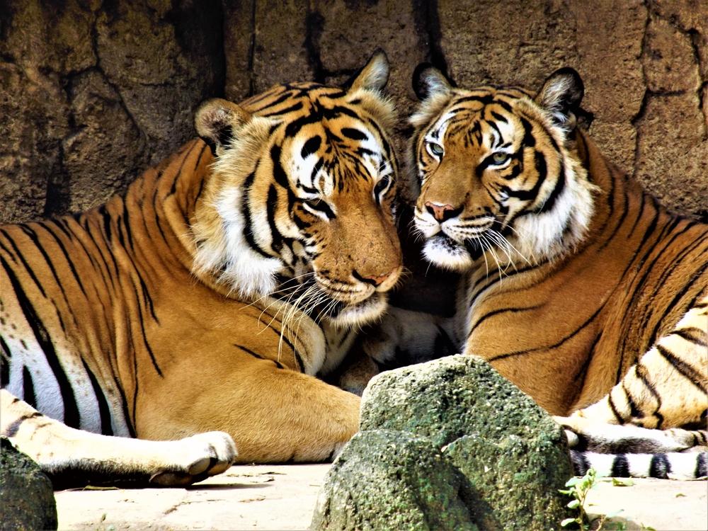 Международный день тигра: 10 важных фактов об этом животном