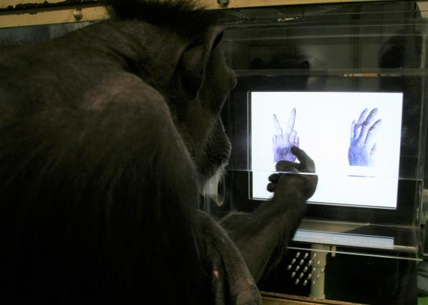 Шимпанзе и дети сыграли в «камень-ножницы-бумага»: кто победил?
