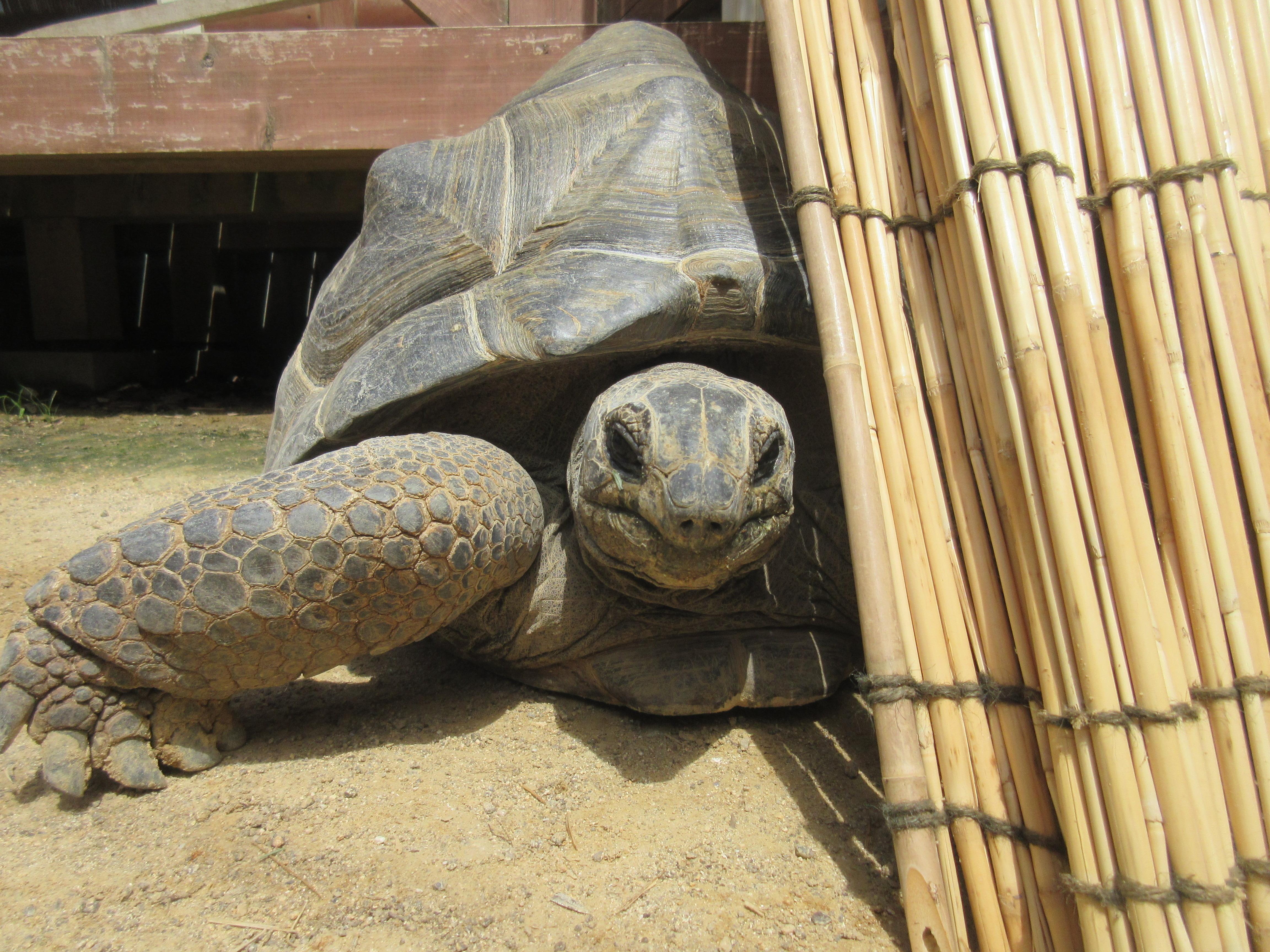 Сбежавшая из зоопарка черепаха две недели преодолела 150 метров