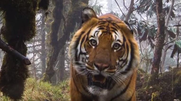В Бутане сделали уникальные кадры бенгальского тигра