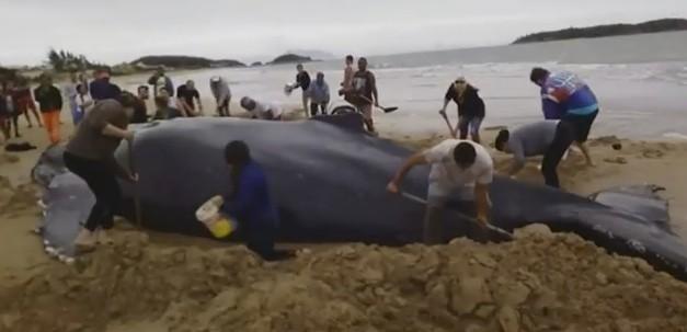 Сотни добровольцев в Бразилии спасли детеныша кита