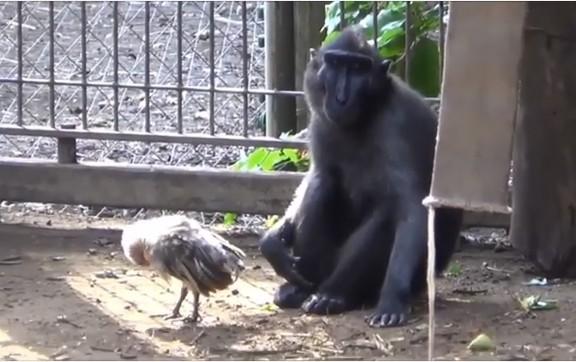 В израильском зоопарке бездетная обезьяна усыновила курицу