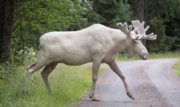 В Швеции сняли на камеру уникального белого лося.Вокруг Света. Украина