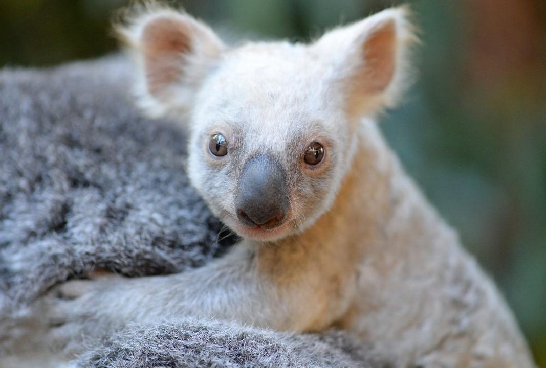 Дейнерис или Снежок? Австралийская белая коала ищет имя через соцсети.Вокруг Света. Украина