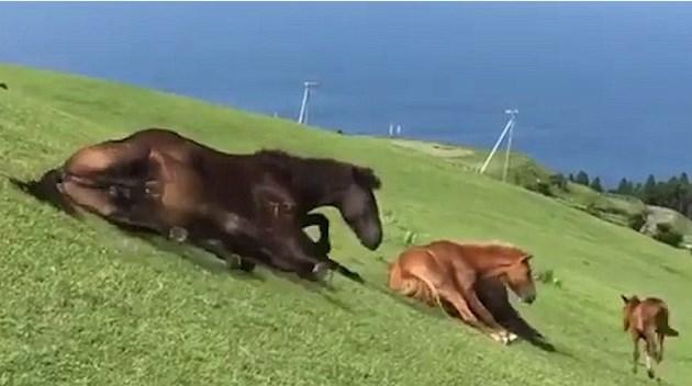 Японские дикие лошади прокатились гуськом по склону