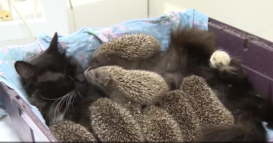 Кошка усыновила восьмерых ежат