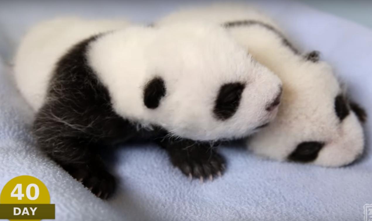 Первые 100 дней из жизни панды: трогательное видео