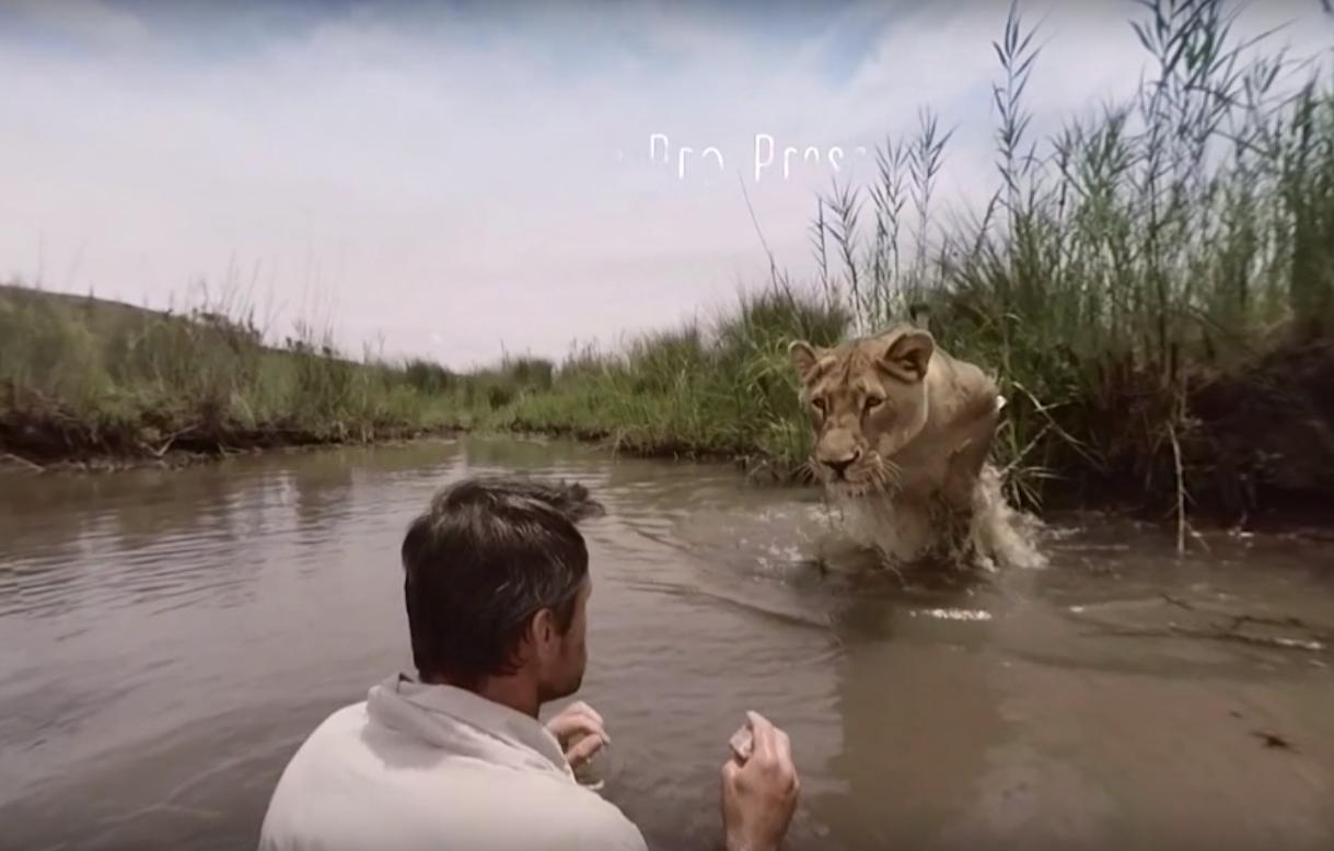 Хищные объятья: львица и человек, который ее спас