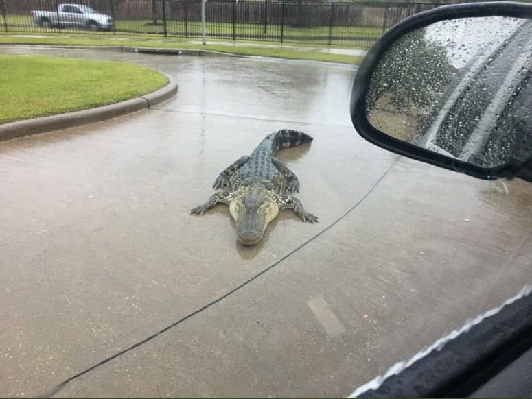 Наводнение в Техасе: аллигаторы во дворе и рыба в гостиной.Вокруг Света. Украина