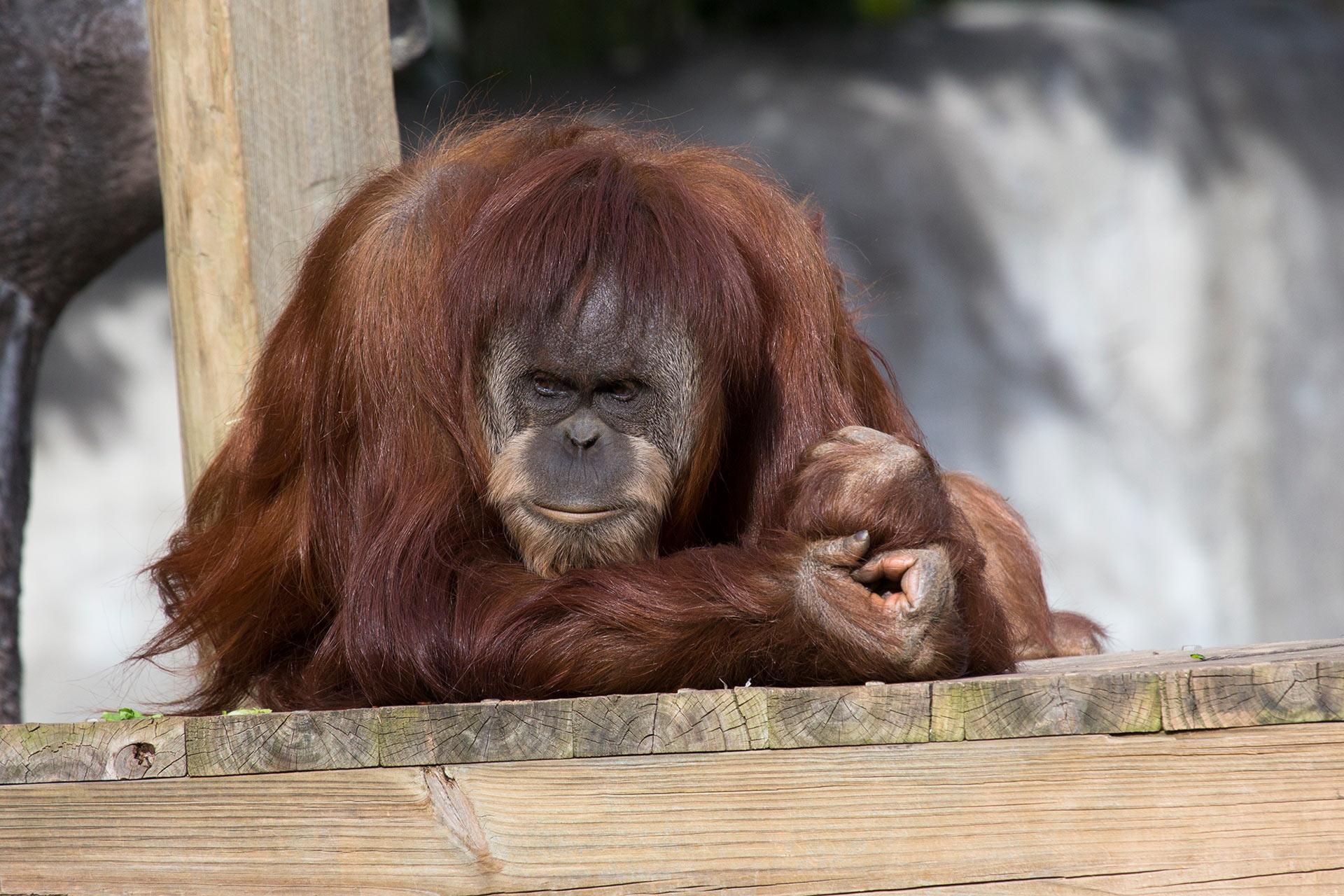 В Атланте умер орангутан, первым выучивший язык жестов.Вокруг Света. Украина