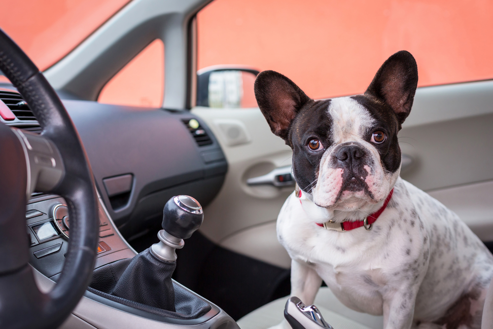 Поездка в такси с собакой: как прокатиться с комфортом?