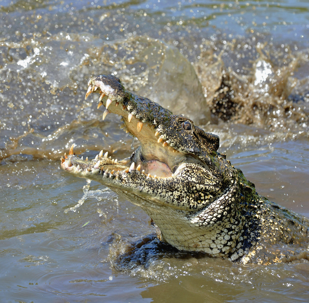 На австралийского туриста напал аллигатор