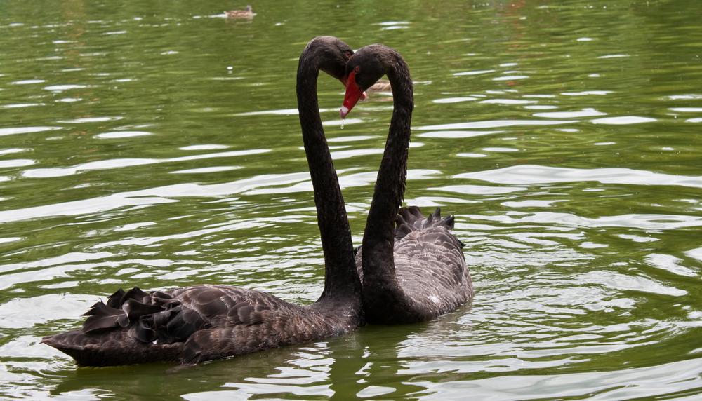 Одинокому черному лебедю нашли пару через бюро знакомств