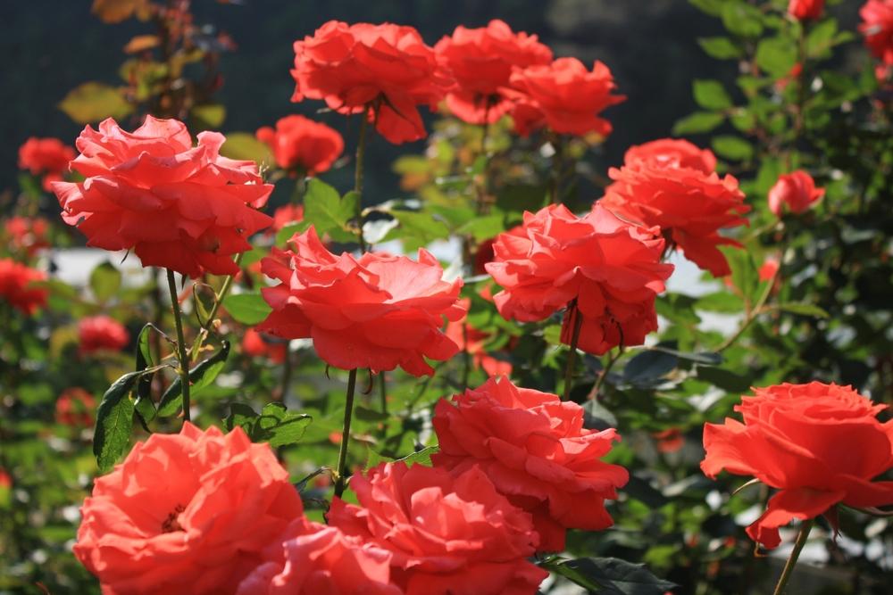 Миллион разных роз: в Украине зацвела уникальная плантация