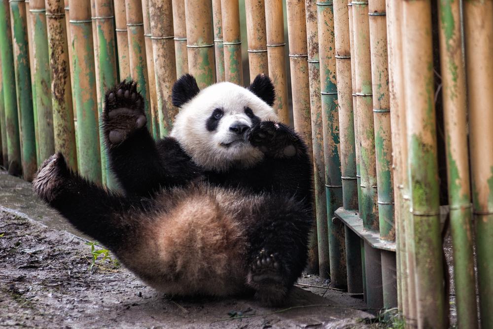 Панды падают на ровном месте