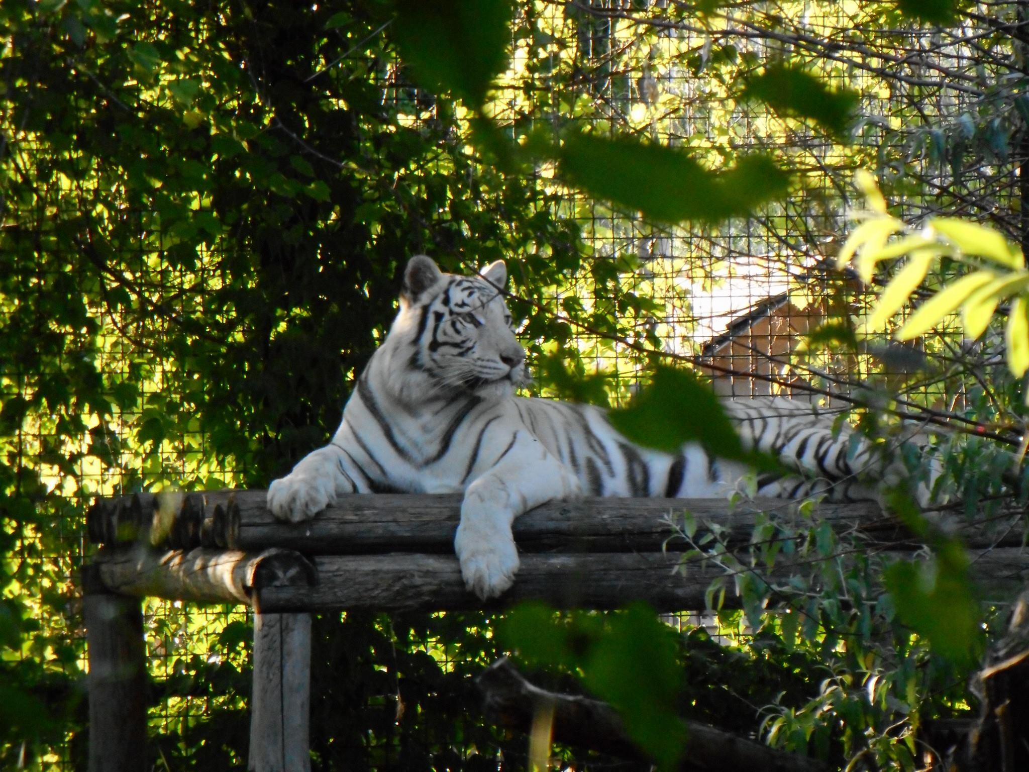 В Бердянском зоопарке тигрица нарушила законы природы