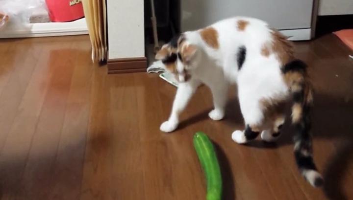 День кошек: почему коты боятся огурцов?