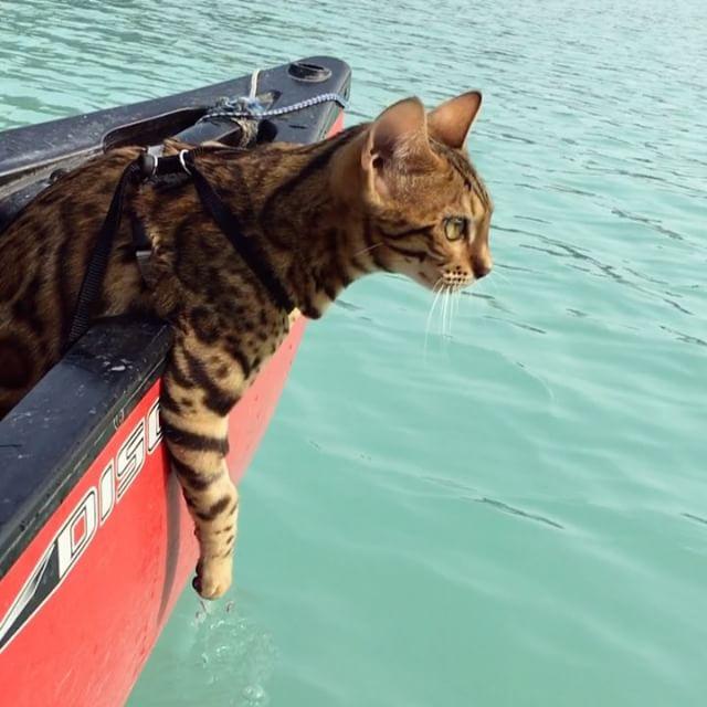 Как бенгальский кот из Канады путешествует по всему миру: фото.Вокруг Света. Украина