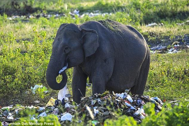 В Индии  дикие слоны едят полиэтиленовые пакеты