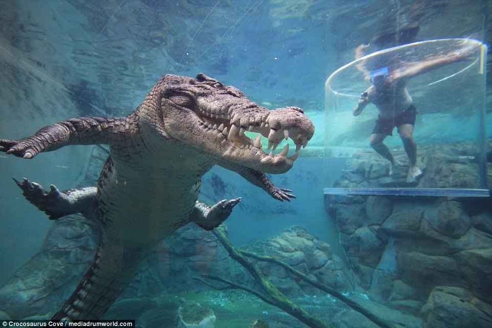 Клетка смерти: в Австралии туристы наблюдают за обедом крокодила из-под воды
