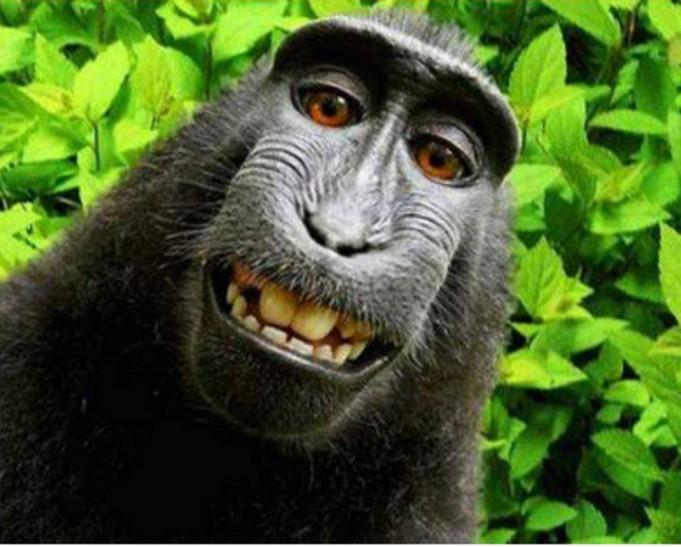В США обезьяна проиграла суд о защите авторских прав