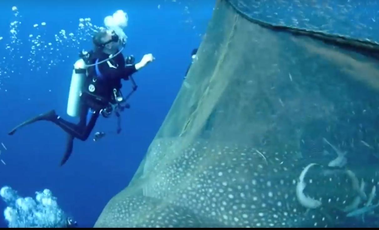 Дайверы спасают китовых акул, запутавшихся в сетях