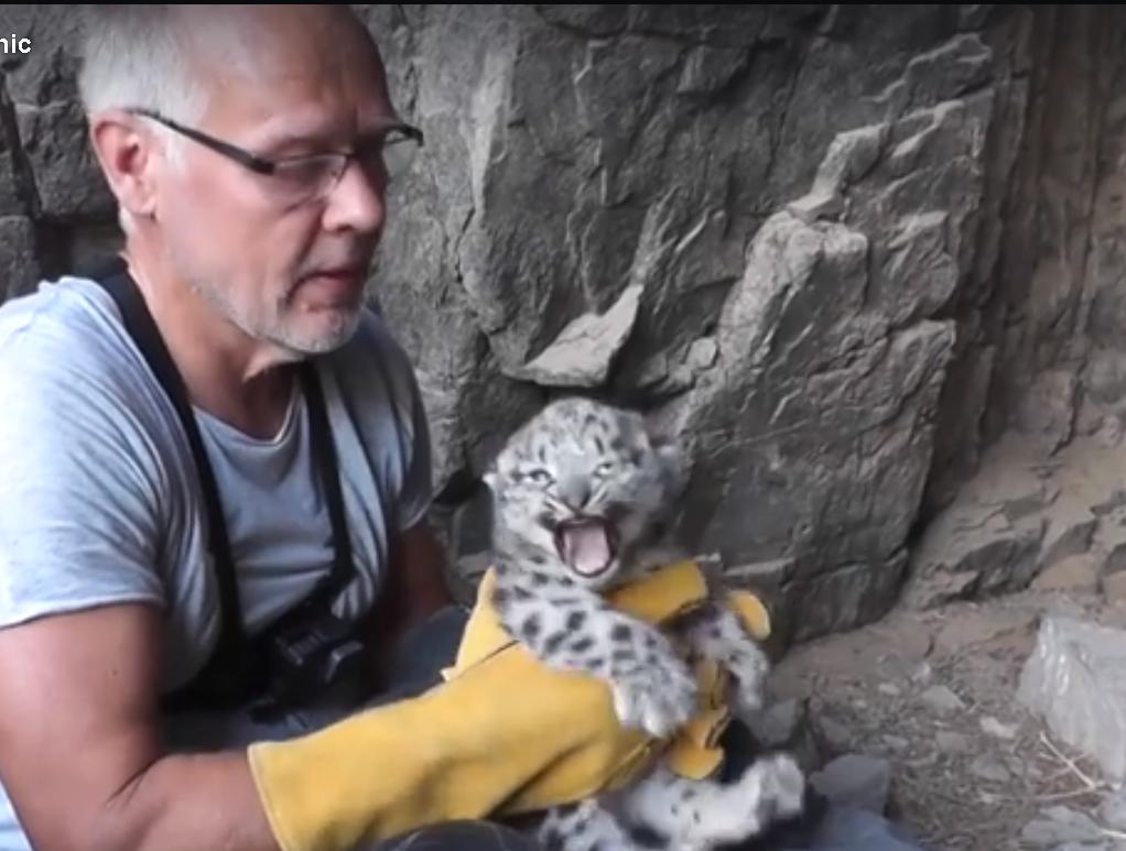Зоологи Монголии спасают котят снежного леопарда