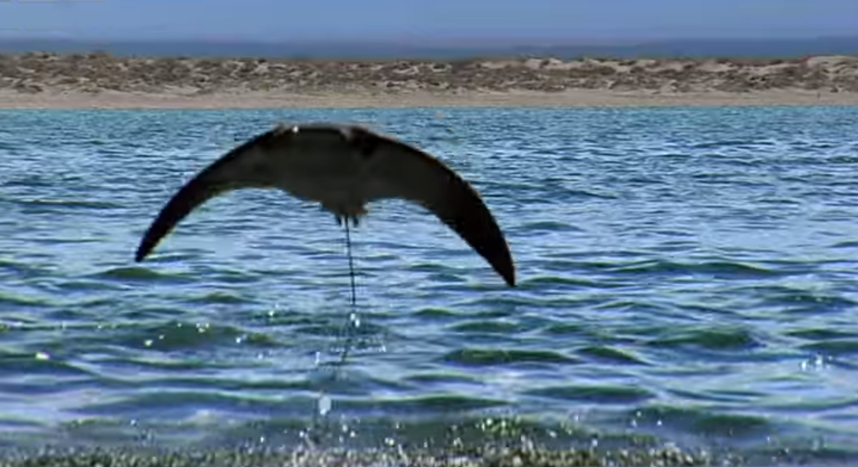 Полет скатов над поверхностью моря