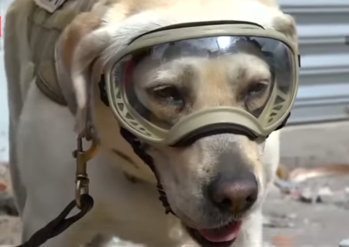 Фрида - героиня Мексики: собака-спасатель находит людей под завалами после землетрясения