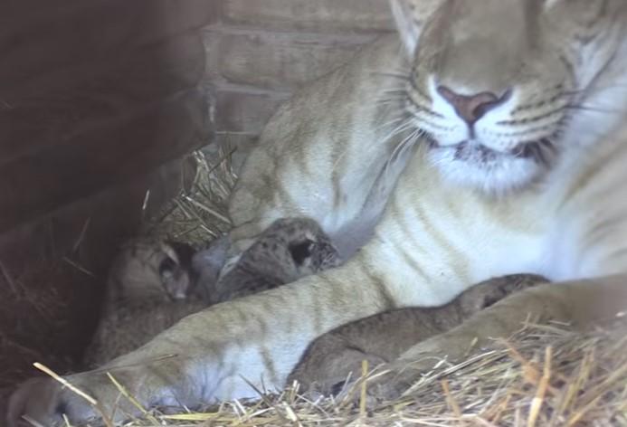 В США родились уникальные лилигры