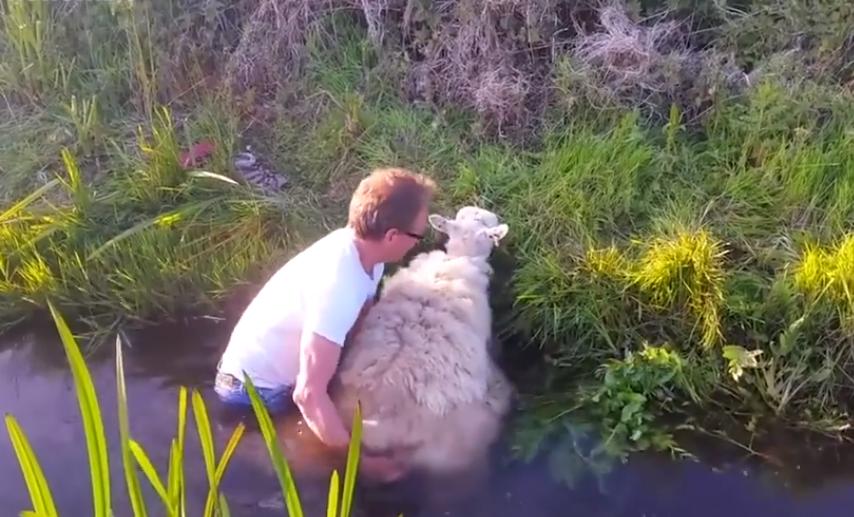 Спасение упрямой овцы