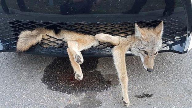 Канадский койот спровоцировал необычное ДТП