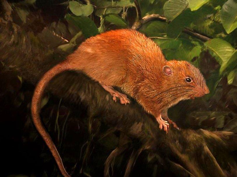 Зоологи открыли неизвестных науке гигантских крыс-древолазов