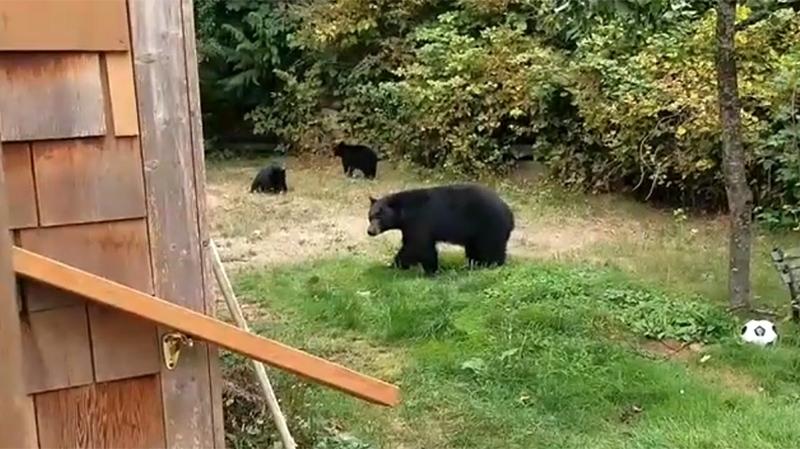 Как важно быть вежливым: канадец уговорил медведей уйти со двора