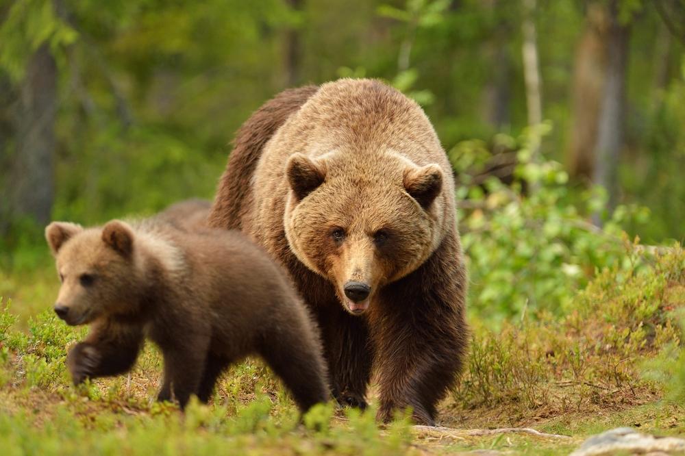 Туристы спасли попавшую в ловушку медведицу на Сахалине (видео)