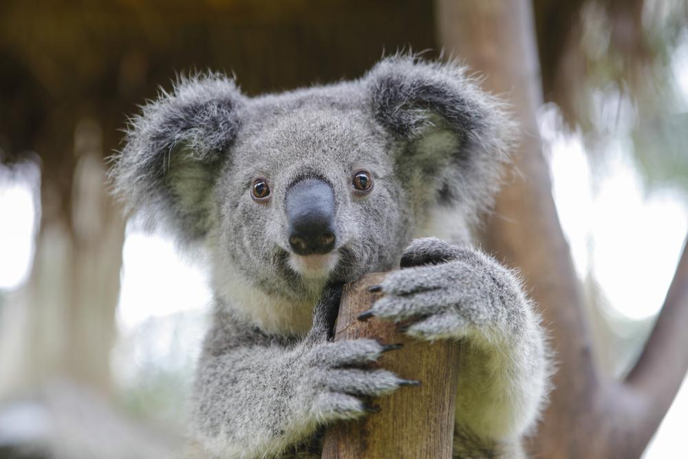 В Австралии коала 16 километров ехала на колесе автомобиля
