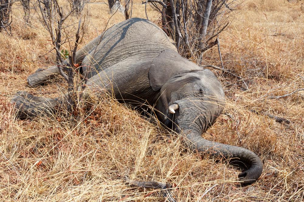 В Африке 9 слонов погибли из-за удара электрического тока