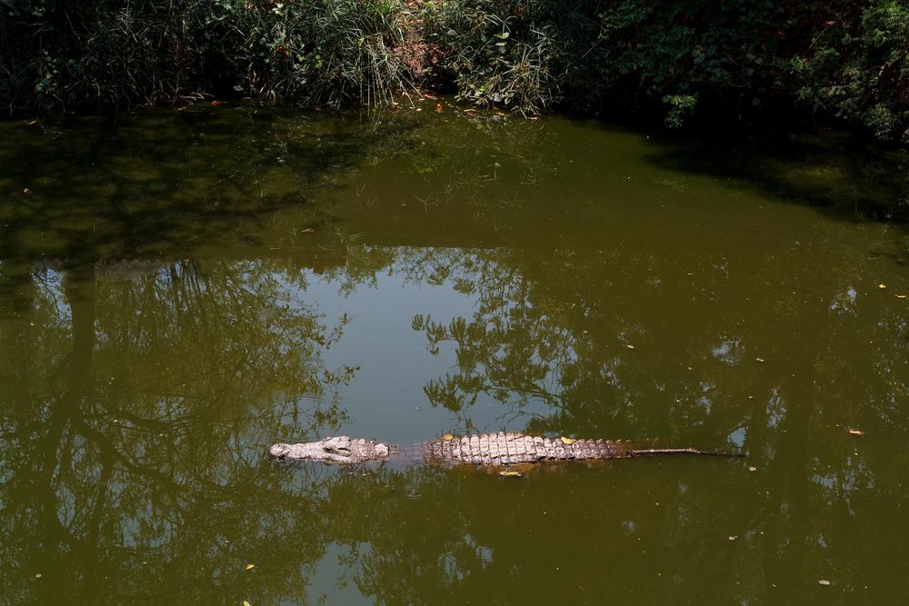 Крокодил убил шамана в Индонезии (видео)