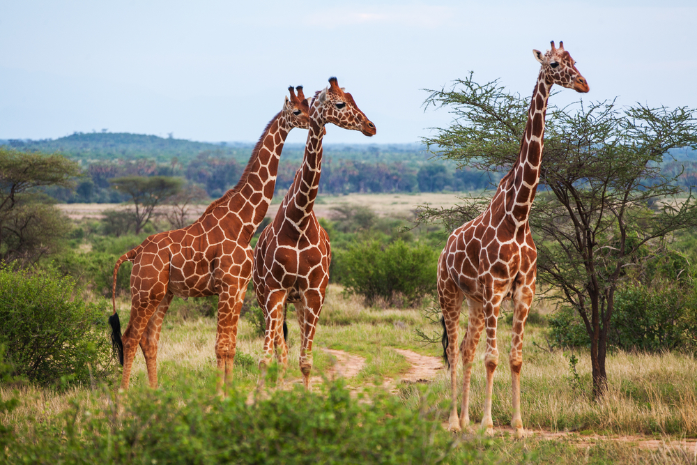 Ученые предложили новое объяснение длинной шеи жирафов