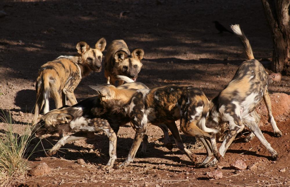 Африканские дикие собаки голосуют перед охотой